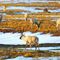 Photo of Close Encounters with Tibetan Antelopes at Hoh Xil Natural Reserve - click to expand.