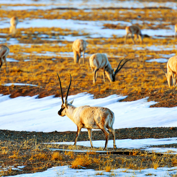 Photo of Close Encounters with Tibetan Antelopes at Hoh Xil Natural Reserve